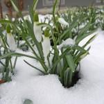 Schneegloeckchen - am Freitag