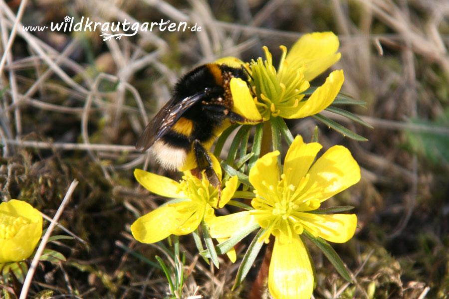 Winterlinge als erstes Bienenfutter