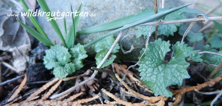 Knoblauchsrauke im Vorfrühling