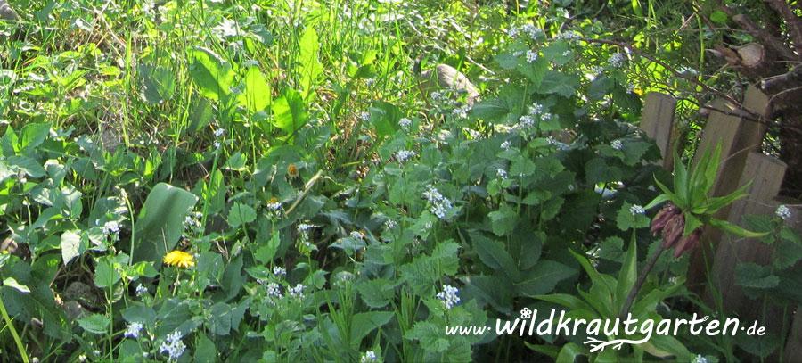 Knoblauchsrauke als leckere Wildgemuese