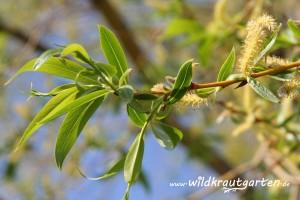 Weide mit aetzchen und jungen Blättern