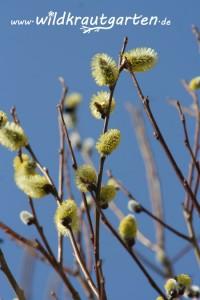 Blühende Weide sind eine wichtige Bienenweide