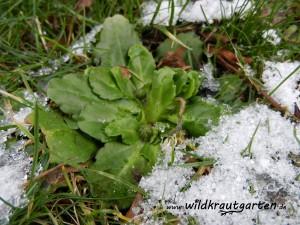 Gaensebluemchen im Schnee