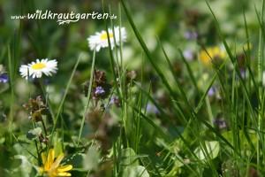 Gaensebluemchen auf der Fruehlingswiese mit Gundermann und Scharbockskraut