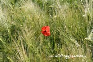Getreidefeld (Geste)