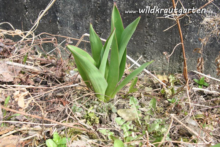 Tulpe - giftig