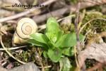 Kleinbluetiges Weidenroeschen - essbar