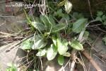 Wilder Sauerampfer- essbar