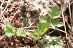 Kriechender Hahnenfuss - giftig