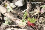 Storchenschnabel - essbar