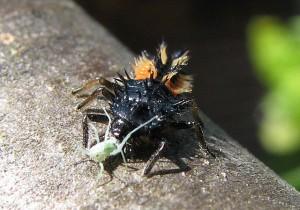 Marienkäferlarve - Foto: Wikipedia