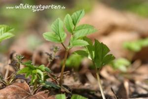 erste zarte Giersch-Triebe im Frühjahr