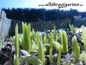 Taglilien Sprosse im Februar
