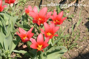 essbare Tulpenblueten