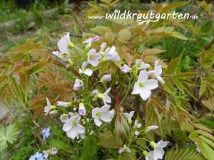 Wiesenschaumkraut - ein Anfang im Garten