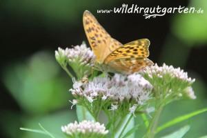 Wildkrautgarten_Wasserdost4