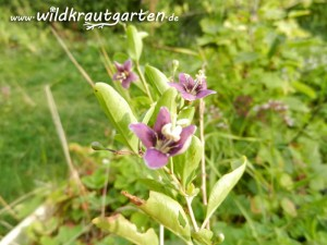 Wildkrautgarten_Goji-Beere