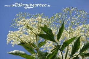 Wildkrautgarten Holunderblueten
