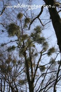 Wildkrautgarten Mistel