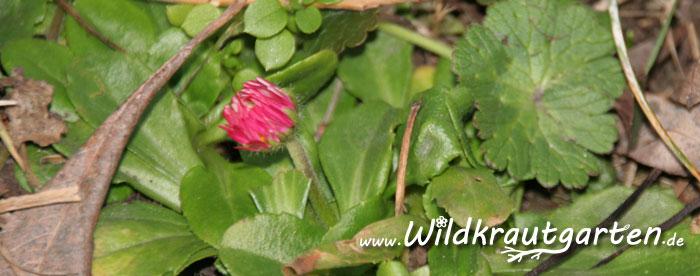 rosa Gaensebluemchen