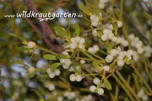 Wildkrautgarten Mistel Beeren