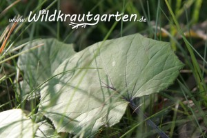 Huflattich-Blaetter