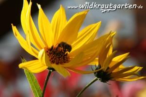 Topinambur als Bienenweide