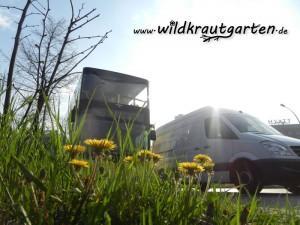 Wildkrautgarten Loewenzahn