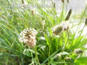 Knospen und Blüten des Spitzwegerichs