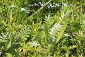 Wildkrautgarten__Gaensefingerkraut05
