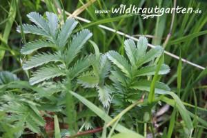 Wildkrautgarten Gaensefingerkraut