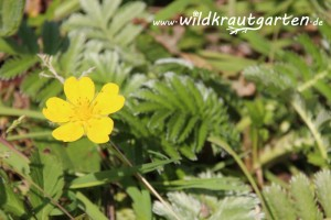 Wildkrautgarten__Gaensefingerkraut09