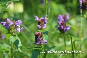 Wildkrautgarten_Braunelle03