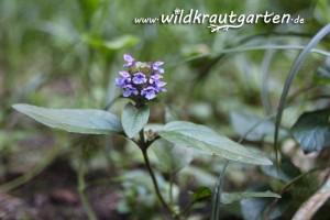 Wildkrautgarten_Braunelle05
