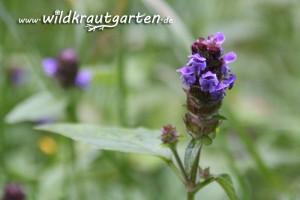 Wildkrautgarten_Braunelle06