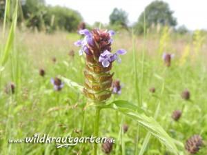 Wildkrautgarten_Braunelle08