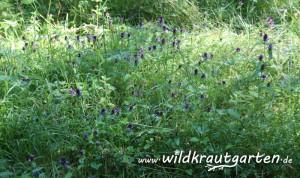Wildkrautgarten_Braunelle09