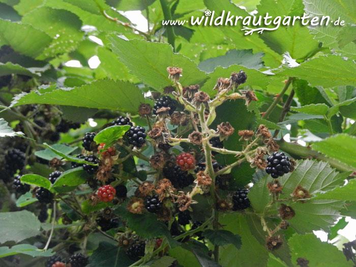 Die Brombeere Stachelige Vitaminbomben Am Wegesrand Wildkraut Garten