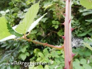 Wildkrautgarten_Brombeere_04