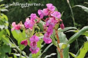 Wildkrautgarten Indisches Springkraut Blueten