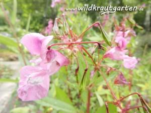 Wildkrautgarten Indisches Springkraut Blüten und Samenkapseln