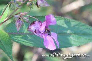 Wildkrautgarten Indisches Springkraut Biene in Bluete