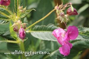 Wildkrautgarten Indisches Springkraut Bluete und Blaetter