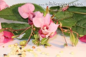 Wildkrautgarten Indisches Springkraut