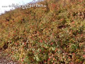 Wildkrautgarten Hagebuttenstraeucher voller Fruechte