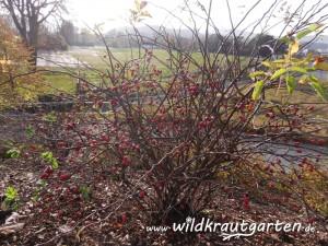 Wildkrautgarten rote Hagebutte an kahlem Strauch