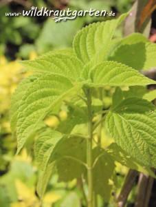 junge Chia-Pflanze